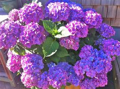 Hydrangea macrophylla - in shades of blue and lilac Fruit Garden, Garden Plants, Annabelle Hydrangea, Hydrangea Macrophylla, Hydrangeas, Shades Of Blue, Lilac, Herbs, Conservatories