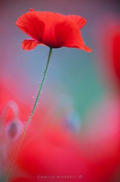Red Spring (XXV) by Camilo Margelí