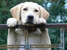 Find out what you need to know about bloat, and how to reduce the risk for your dog Aloe Vera, Fox Red Labrador, Dog Separation Anxiety, Dog Health Tips, Dog Information, Old Dogs, Dog Care, Dog Friends