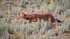 #Hunting Wolf #Ethiopia