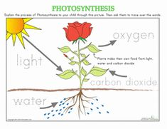 Kindergarten Science Worksheets: How Plants Grow