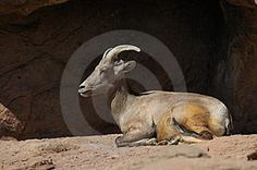 Bighorn Sheep Laying Down Stock Photography  I met him in the Wonderland of Rocks, chewing his cud as I ate my lunch on the rocks as small distance away across a small wash.    There are petroglyphs of bighorned sheep near the Freemont Indian Museum, Utah, which I could juxtapose w/ this image ON MY BLOG.