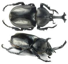 Allomyrina dichotomus tsunobosonus