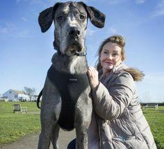 """Cão de 2,1 metros, que ainda está crescendo, deve ganhar título de """"maior do mundo"""" Animal de 18 meses já destruiu 14 sofás na casa onde vive na Inglaterra; dona passeia com pet durante a noite para não assustar pessoas"""