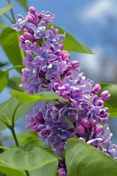 flowersgardenlove:  lilacs will be coming out soon....