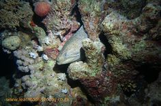 Moray eel at the Alternatives, Red Sea Red Sea Diving, Alternative