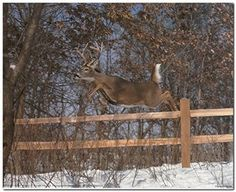 Whitetail Deer Jumping Fence Wildlife Animal Wall Decor Art Print Poster (16x20) #ImpactPosters