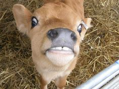 Jersey calf.... heart, heart, heart.  reason #23489384098502 why I am a vegetarian, with vegan leanings