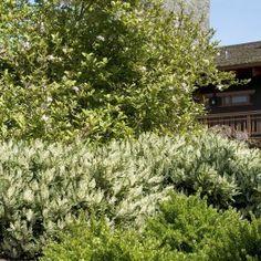Otto Luyken English Laurel Prunus laurocerasus 'Otto Luyken' Item 6715 USDA Zone: 6-9 shop.monrovia.com
