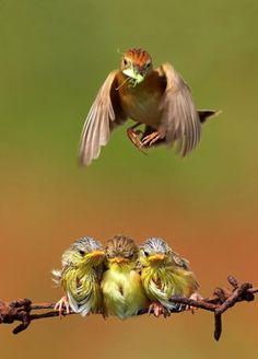 Great shot! warbler chicks .... ♥♥ ....