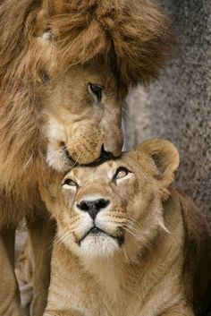 Lion Love, Cute Lion, Nature Animals, Animals And Pets, Cute Animals, Wild Animals, Lion Wallpaper, Animal Wallpaper, Beautiful Cats