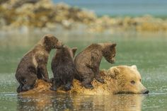 Grizzly bear cubs hitch a ride on mum's back in beautiful pictures ... The magical moment was caught by Norwegian tours Jon Langeland ...