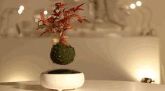 Levitating Bonsai Tree