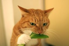 This looks very much like my old cat, Ziggy, and it's particularly appropriate that he's eating a plant!