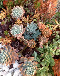 Colorful winter succulents