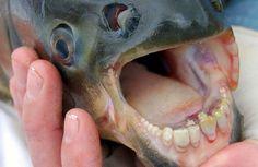De pacu kan met zijn tanden zo aanbellen bij de tandarts, zo erg lijken zijn tanden op die van een mens. De vis is familie van de piranha die veel scherpere tanden heeft. De pacu kan wel veel groter worden dan een piranha; sommige exemplaren zijn bijna een meter lang en wegen 25 kilo.