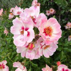"kkyamasita: ""#flowers #floweroftheday #flowerporn #flowerstagram #flowermagic #flowersofinstagram #flowerslovers #flowerstalking #floweroftheday #blossom #botanical #floral #florals #instablooms #bloom #blooms #nature #Japan #花 #自然 (京成バラ園) """
