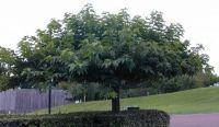 Morus alba Fruitless (Dakmoerbei vruchtloos) Dit is een dakmoerbei die geen vruchten draagt maar wel goed als dakboom functioneert. Deze bomen zijn weinig ziektegevoelig.