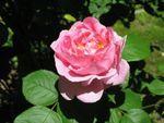 Choisir un rosier : les formes de roses