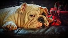 Pretty similar to the look I get from the girls when I tell them to clean their rooms, and it's a bulldog! :-D
