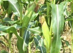 Planting corn in blocks facilitates pollination.