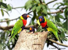 This photograph shows the beauty of Forsten's lorikeet. © Mehd Halaouate