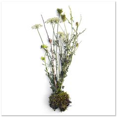 Photobotanicus by Barry Rosenthal - Queen Anne's Lace and Moss, Cedar, Michigan
