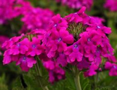 Plant them in early spring for a long lasting colour spectacle every year