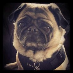 Black Puppia refit harness  Available at www.ilovepugs.co.uk post worldwide