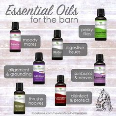 best essential oils for horses - what's in my essential oil barn kit? Click through to buy!The best essential oils for horses - what's in my essential oil barn kit? Click through to buy! Homemade Horse Fly Spray, Horse Riding Tips, Horse Horse, Dressage Horses, Appaloosa Horses, Horse Stalls, Trail Riding, Fly Spray For Horses, Horse Care Tips