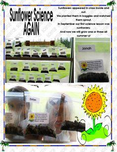 Mammoth Sunflowers Mammoth Sunflower, Science Lessons, Sunflowers, The Outsiders, Kindergarten, Plants, Kindergartens, Plant, Preschool
