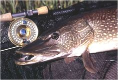 And I want to catch on on the fly rod.  Fly Fishing for Northern Pike