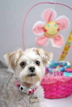 Dog Fashion Spa brand ambassador Minnie in style for Easter #DFmodels #Easter