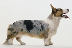 What is a Cardigan Welsh Corgi? I would like to purchase or Pure bred or possibly give one a good home