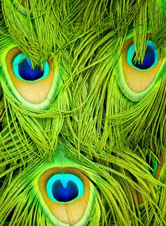 Peacock Feathers - Chartreuse Green, Aqua, Blue and Beige/Tan Peacock Colors, Peacock Art, Peacock Feathers, Green Colors, Green Peacock, Bright Colours, Makeup Elf, Arte Plumaria, Fotografia Macro