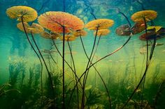 """Water lilies, Okavango Delta, Botswana. """"One of the greatest challenges in photography to me is to define a personal point of view. During my work in Botswana's Okavango Delta, I looked for ways to capture the essence of this great wetland and my own response to the wonder of it. #underwatercamera"""