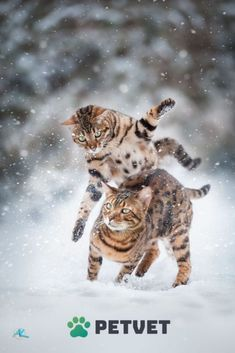 Bengal cat snow attack - Bengal Cat - Ideas of Bengal Cat - Bengal cat snow attack The post Bengal cat snow attack appeared first on Cat Gig. I Love Cats, Crazy Cats, Cool Cats, Kittens And Puppies, Cats And Kittens, Ragdoll Kittens, Tabby Cats, Funny Kittens, White Kittens