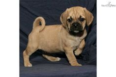 puggle puppies for sale in fowlerville michigan | Puggle for sale for $750, near Kalamazoo, Michigan. dcc175ff-5311