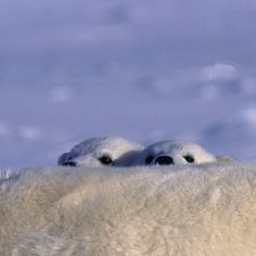 Photograph by @paulnicklen // Young polar bear cubs, freshly out of the den peek out from behind their mother as she rests on the sea ice near Ellesmere Island, Nunavut.