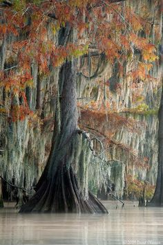 Moss and fall foliage drape the soft flowing lines of this e.- Moss and fall foliage drape the soft flowing lines of this elegant cypress. Moss and fall foliage drape the soft flowing lines of this elegant cypress.