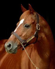 Affirmed, '78 Triple Crown winner. It seems to me California Chrome has that look too. The look of a Triple Crown winner!