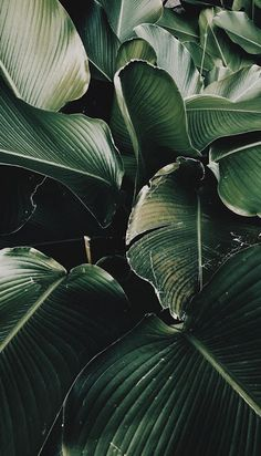 I have this plant at home, filling my tiny bathroom and I love it & green tropical plant leaves print Plant Wallpaper, Nature Wallpaper, Screen Wallpaper, Leaves Wallpaper, Iphone Wallpaper Tropical, 4k Wallpaper Iphone, Gold Wallpaper, Painting Wallpaper, Trendy Wallpaper