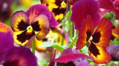 Colorful pansies #flowers