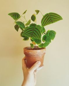 Plants – Christia Obcordata Find natureinspired decor at Forest Homes homedecor homedecorideas decor decorideas – Best House Plants Cool Plants, Green Plants, Weird Plants, Foliage Plants, Potted Plants, Water Plants, Hanging Plants, Butterfly Plants, Flower Plants