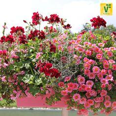 Ein rosa-roter Traum im Balkonkasten! >> Scaevola 'Abanico Pink', Stacheldrahtpflanze 'Silver Bush', Efeugeranie 'Grandeur Ivy Velvet', Zauberglöckchen 'Calita Salmon Morn', Edelgeranie 'Aristo Black Beauty'. Mehr Pflanzbeispiele gibt es auf www.plant-happy.de