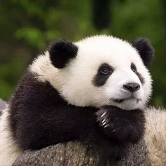 Pijon, tell me again about the two sweet, generous, thoughtful, and cute pandas… Niedlicher Panda, Panda Love, Cute Panda, Big Panda, Cute Baby Animals, Animals And Pets, Beautiful Creatures, Animals Beautiful, Panda Mignon