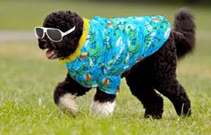 Bo Obama in Hawaii. Bo tries to fit in with the other local dogs in Hawaii...