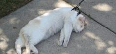 Nope, not going for a walk. Leash fail with cat!