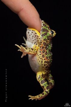 Pacman frog: they eat anything that will fit in their mouth.  When they get bigger, they eat mice.