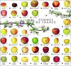 La pomme, fruit de l'automne. . . ..